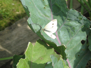 Cabbage Moth on Kale