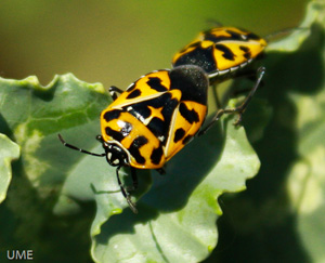 Harlequin bugs mating