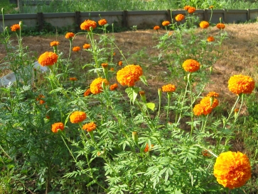 African Orange Marigolds