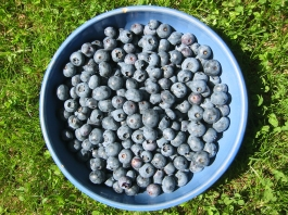 growing blueberries