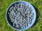 growing blueberries