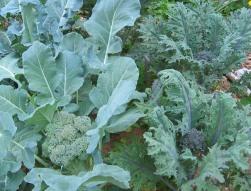 growing Broccoli