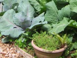 Cabbage with Thyme in Pot