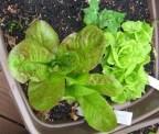 container garden lettuce