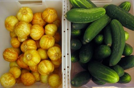grow Cucumber harvest