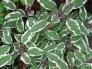 Tricolor Sage