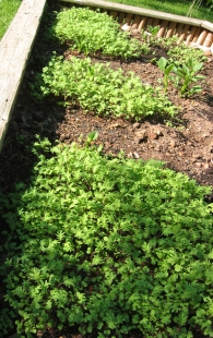 kale lettuce