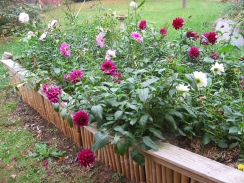 Dahlias in the Hoogle Bed
