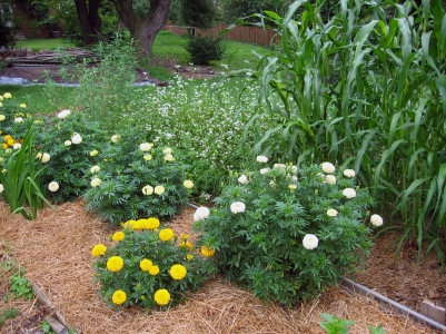 Millet, Marigolds, Buckwheat and Lambs Quarters
