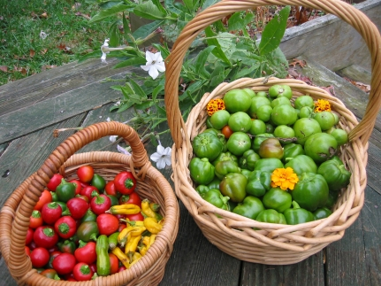 Pepper and chile harvest