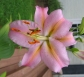 Pink Lilly
