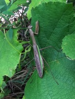 Praying Mantis on Grapes