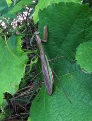 Praying Mantis on Grapes