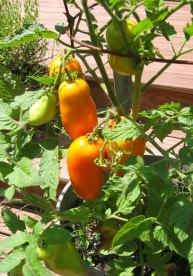 Prior Unity Gold Roma Tomat