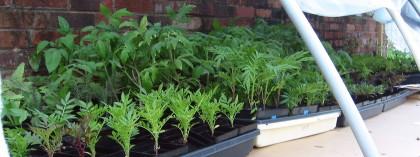 harden off seedlings