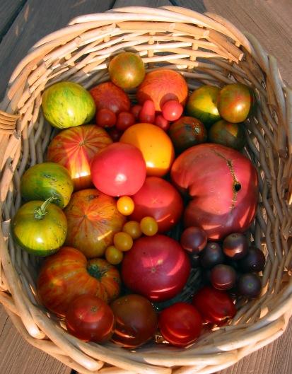 tomato harvest in a basket