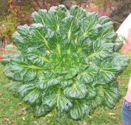 growing Tatsoi