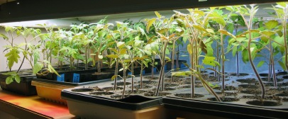 grow tomatoes from seed