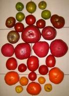 lots of tomato varieties