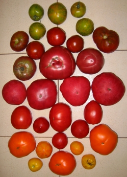 lots of tomato varieties