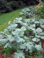 Growing kale