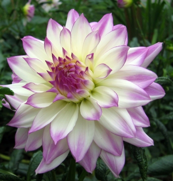 White and Lavender Dahlia