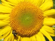 Zebulon Sunflower