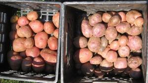 potatoes dug from the garden