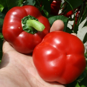 Ashe County Pimento Sweet Pepper