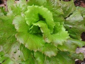 Sierra Crisphead Lettuce