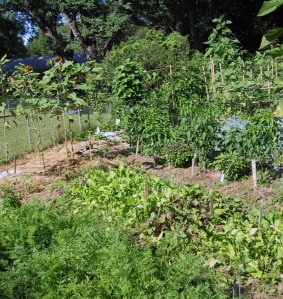 Garden with carrots, beets, sunflowers, peppers, tomatoes and pole beans