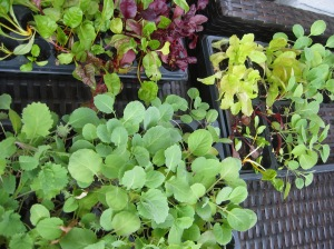 Spring Green Seedlings