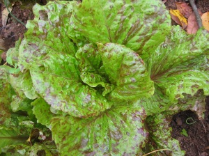 Forellenschluss, translated to Flashy Trout's Back, romaine lettuce is a not only a good choice for most seasons, but a beauty in the garden.