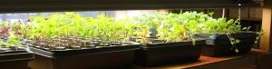 seedlings like light