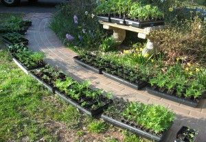 Hardening off trays of seedlings along a warm brick sidewalk