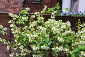 Blueberry bush in bloom