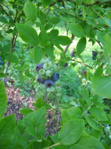 Enjoy home grown blueberries