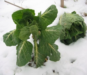 collards are sweeter after frost