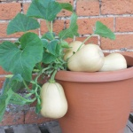 betterbush butternut squash in a container