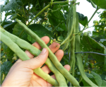 winthers white pole bean