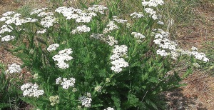 Native White Yarrow