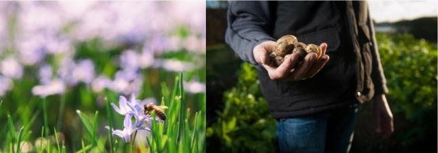bee on flowers and gardener holding fresh harvested potatoes