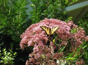 Yellow Swallowtail butterlfy on Joe Pye Flower