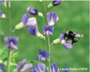 bee visiting a wild blue indigo