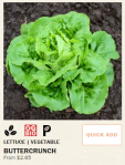 Buttercrunch lettuce from Territorial Seed Company