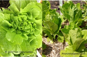 Valmaine Lettuce is great in all seasons