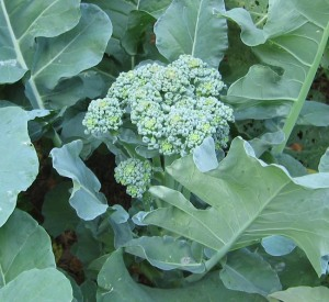 grow broccoli