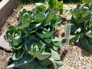 Caraflex cabbage